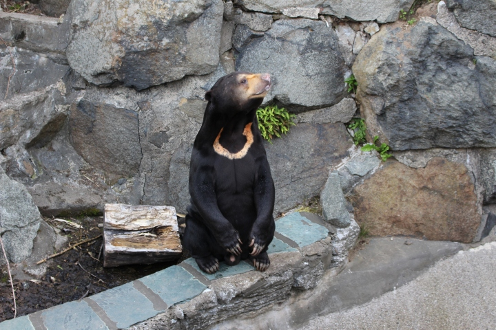 Edinburgh Zoo Sun Bear Talor Gilchrist.JPG