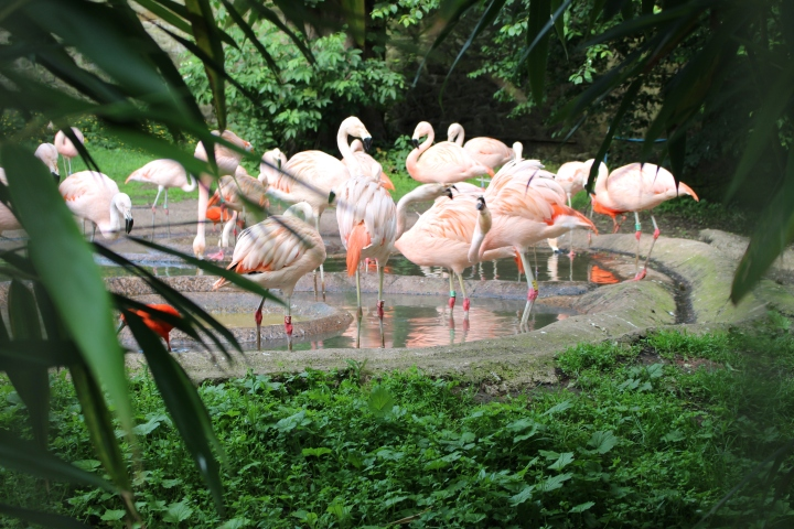 Edinburgh Zoo Talor Gilchrist Flamingos.JPG